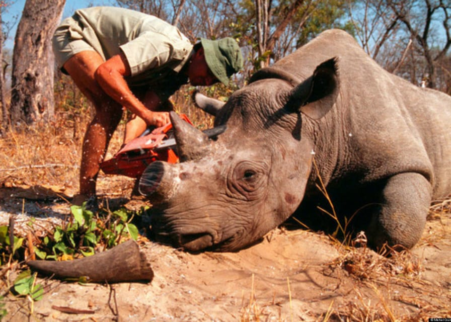 African Rhino robbed of horns