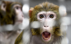 Scientists Insert Human Brain Genes into Monkeys