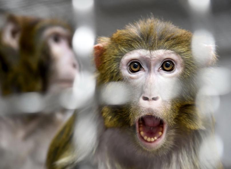 Scientists+Insert+Human+Brain+Genes+into+Monkeys